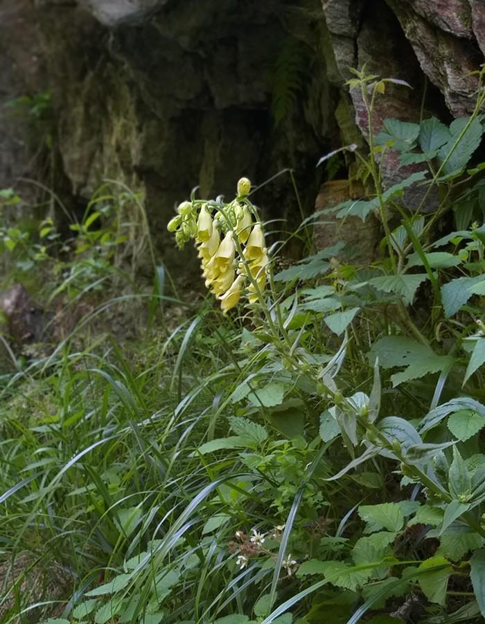 Großblütiger Fingerhut in Waldlichtungen und Hochstaudenfluren
